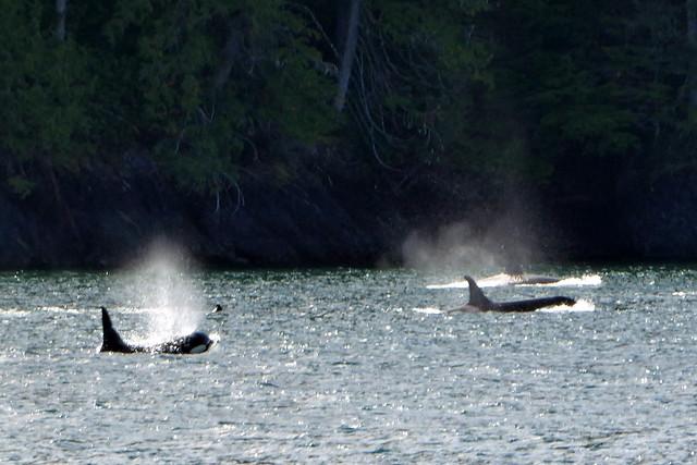 Johnstone Strait Orcas