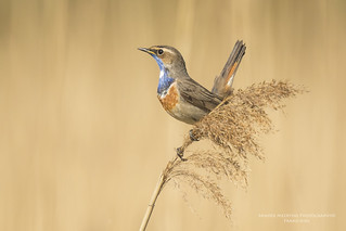 Bluethroat (Explore)
