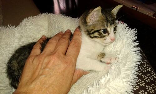 FALLECIDO- Marvel, gatito blanquipardo bebé en Adopción Especial, nacido en Junio´15, en adopción. Valencia. 20522057805_e4ded7360c