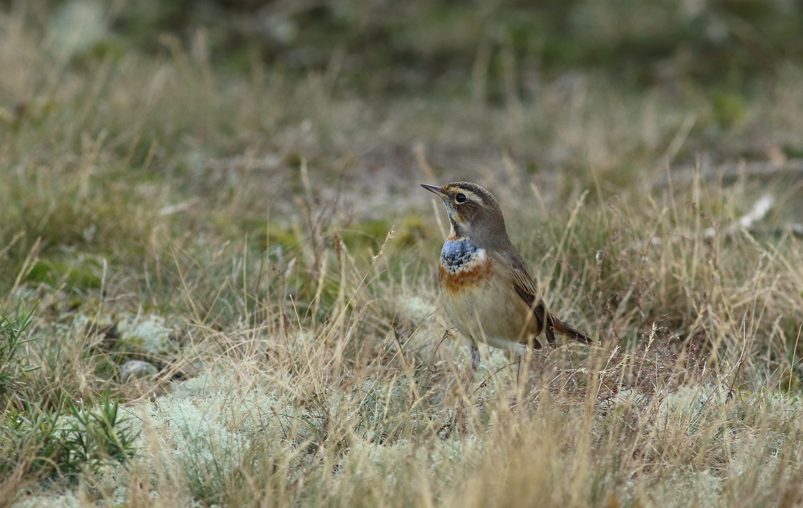 bluethroat13