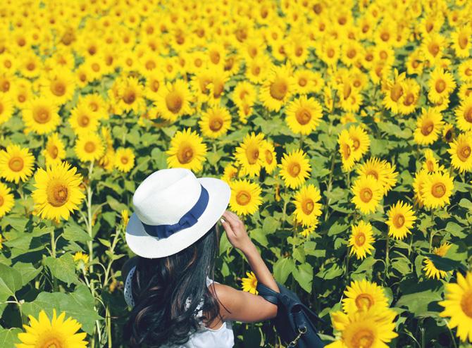 sunflower fields ann taylor dress1