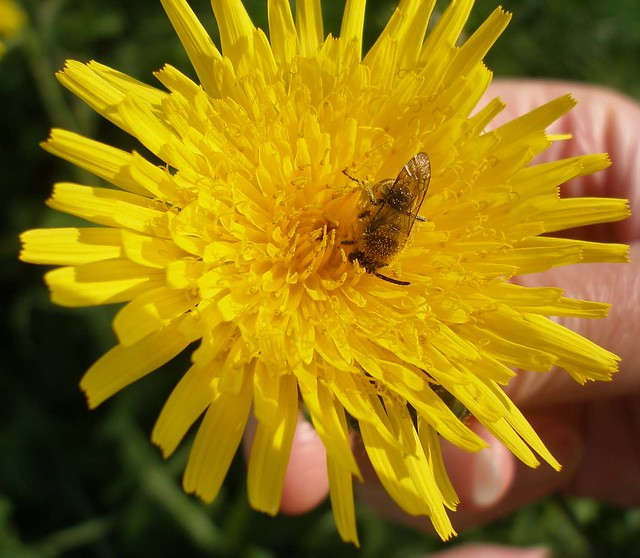 Bee on Hawkweed 1