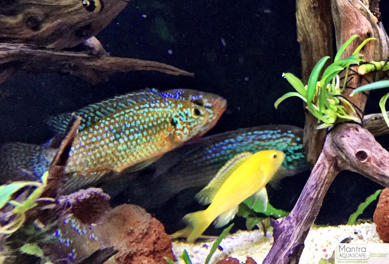 Freshwater jewel fish - Image