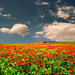 Red field by Katarina 2353