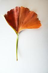 My favorite leaf