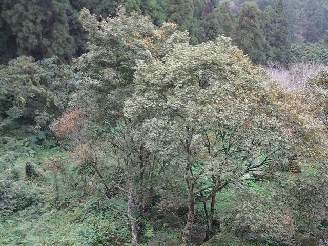溪頭的楓葉66