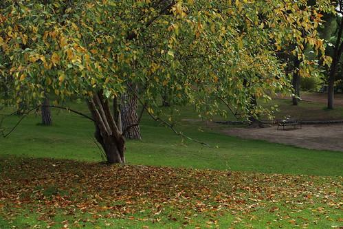 por qu se caen las hojas de los rboles en oto o el