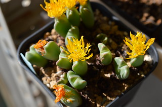 DSC_1250 Conophytum cvs. 小菊の舞 コノフィツム