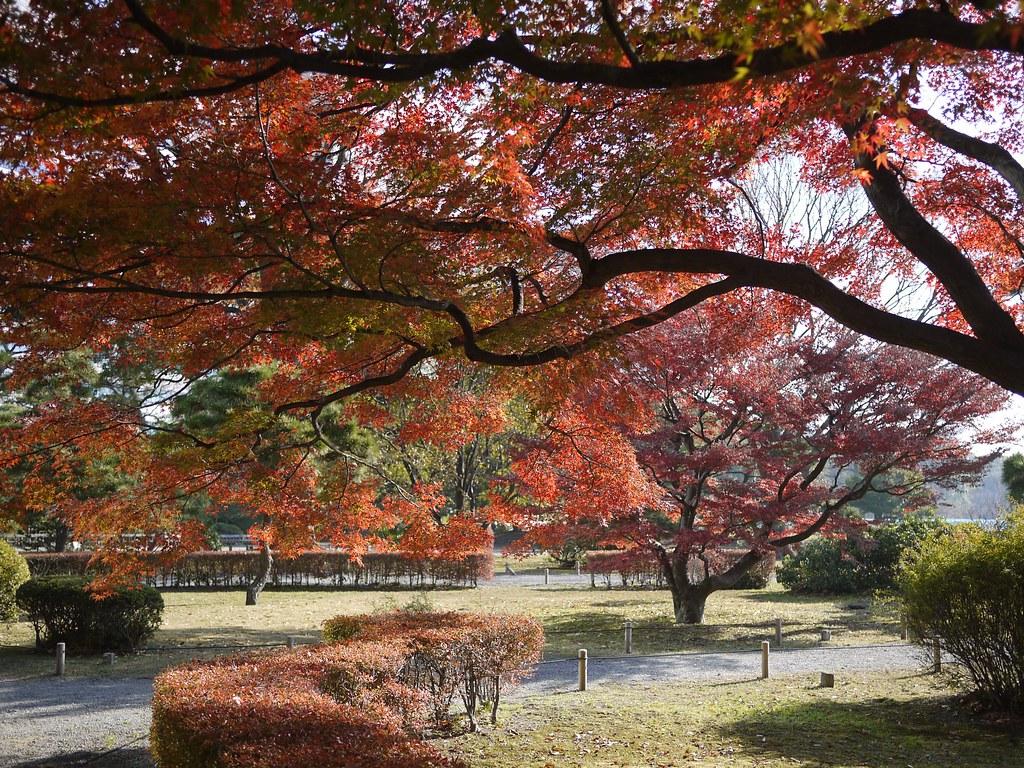 Iroha-momiji (Acer palmatum)
