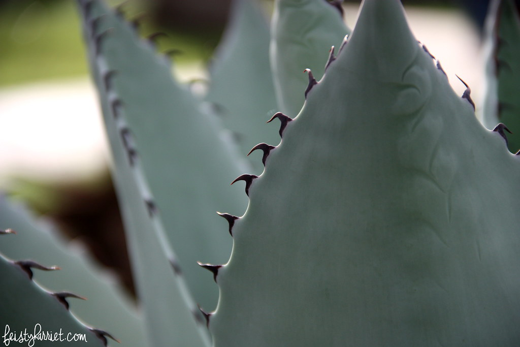 Agave teeth_feistyharriet_San Antonio Botanical Gardens
