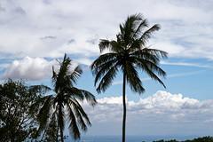 Coconut Tree at Chamundi Hill