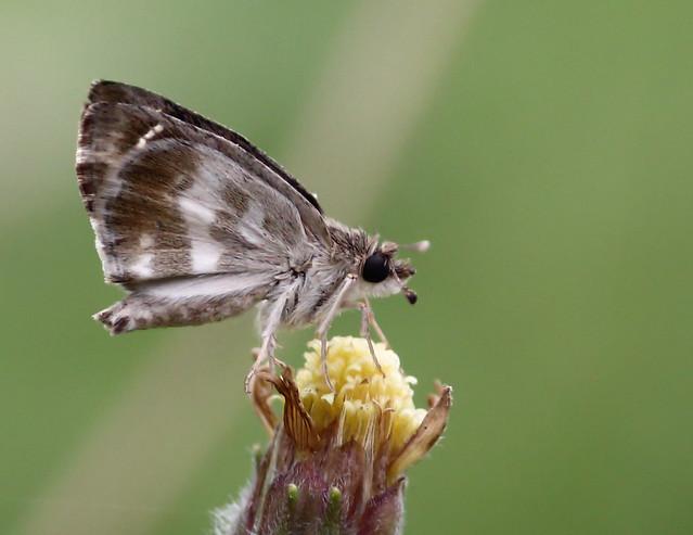Marbled Skipper (Gomalia elma)