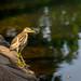 Female Night Heron @ Yundang Lake, Xiamen...