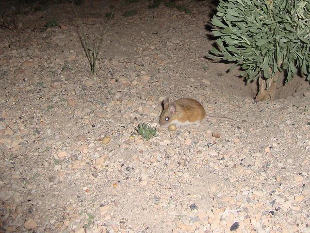 deer mouse 2