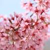 Peak Bloom Cherry Blossoms