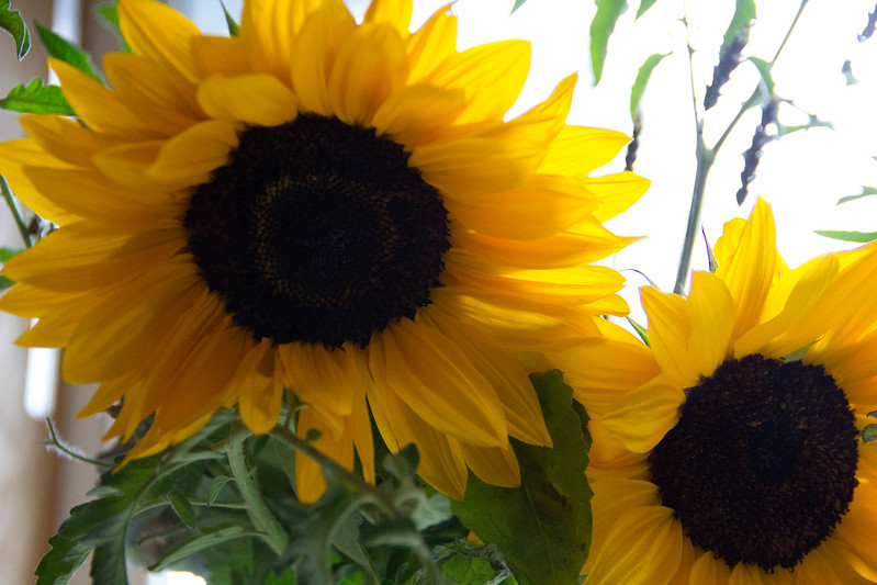 Library Sunflowers Close Up