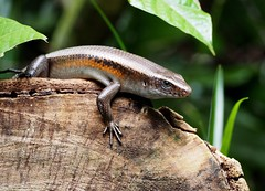 smooth newt(0.0), newt(0.0), green lizard(0.0), lissotriton(0.0), lacerta(0.0), dactyloidae(0.0), animal(1.0), reptile(1.0), lizard(1.0), fauna(1.0), scaled reptile(1.0), wildlife(1.0),
