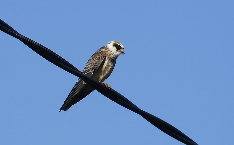 Juv. Red-footed Falcon