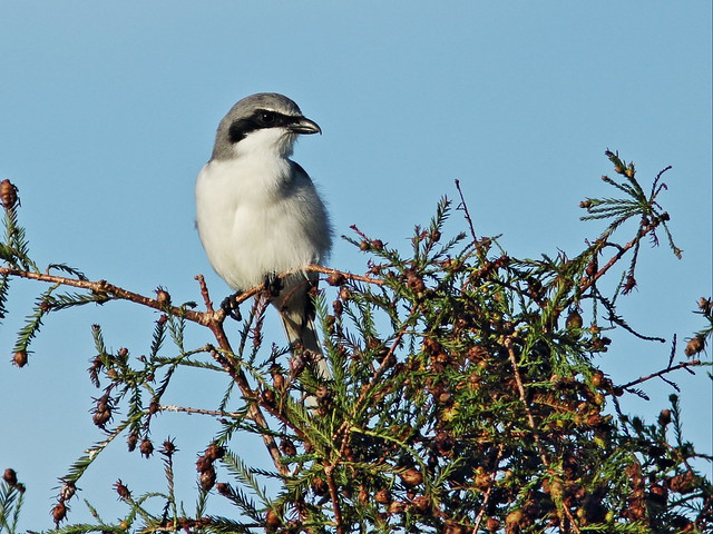 Loggerhead Shrike on cypress 20151109