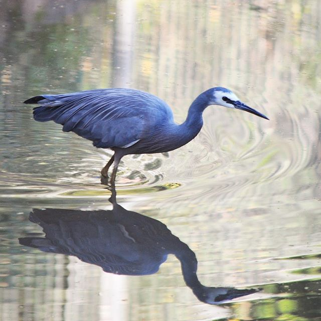 A blue crane fishing out the...