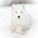 Felix the white fox by CecilieSonstebyPhotography