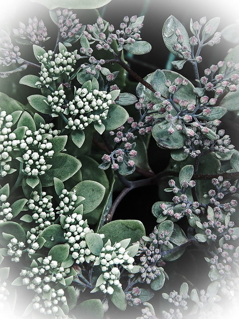 Sedum succulent in Photoshop Express: soft