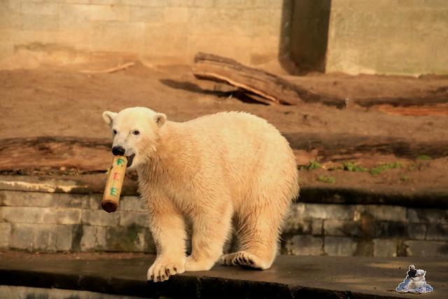 Eisbär Fiete im Zoo Rostock 12.12.2015   96