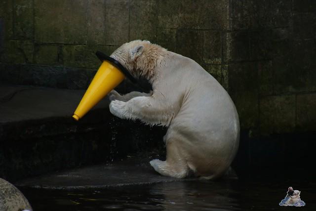 Eisbär Fiete im Zoo Rostock  020