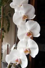 Orchideas.