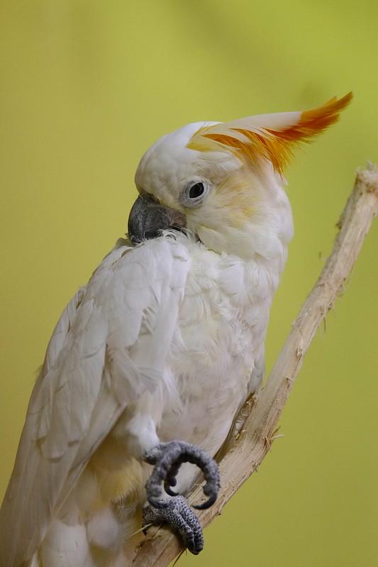 citron-crested cockatoo / コキサカオウム
