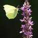 papillon11 by histoireduninstant