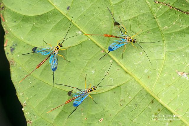 Ichneumon wasps (Banchinae) - DSC_4009