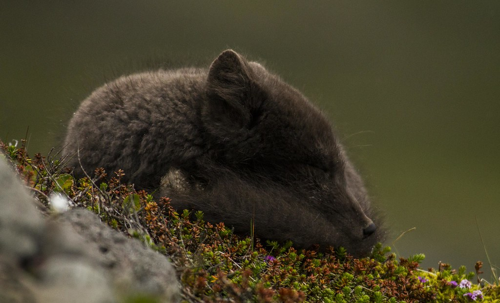 Sleepy arctic fox