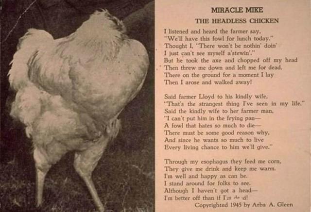 El Pollo que vivio 18 meses sin cabeza