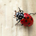 Red Ladybug (Macro) by Adrian Duque Photography