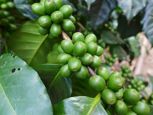 Coffe tour Finca Welchez - Honduras