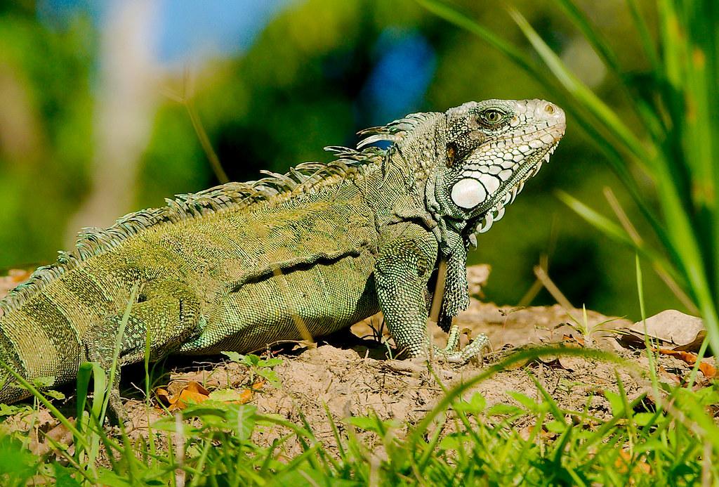 Lizard_17