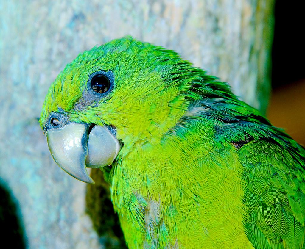 Parrot_8
