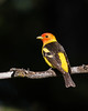 Western Tanager by lbasden