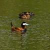 Ruddy Duck Family 2