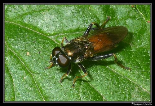 Xylota segnis femelle