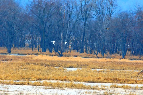tundra swans at Goose Island WI 854A6753