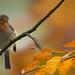 Robin in autumn by hardy-gjK