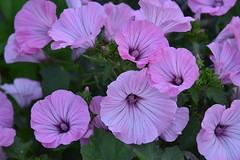Pétales roses violettes