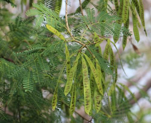 rota leucaena leucaenaleucocephala fabaceae