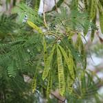 Leucaena leucocephala leaves and pods