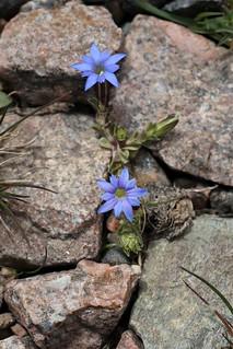 Gentiana karelinii (Gentianaceae)