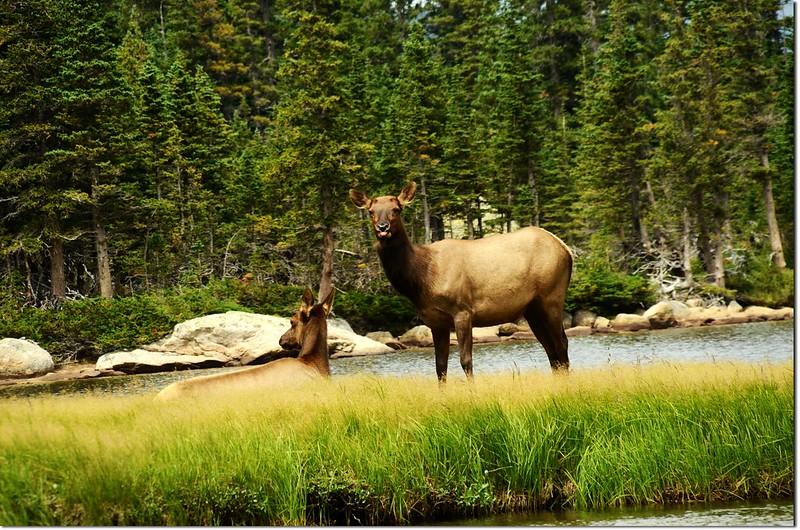 Elk at Jewel Lake 2