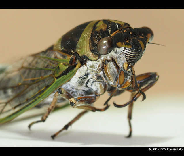 Dog-day cicada (Tibicen canicularis)