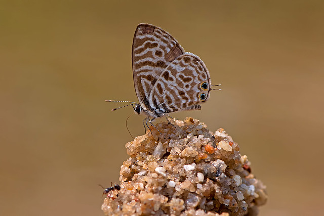 Leptotes plinius - the Zebra Blue